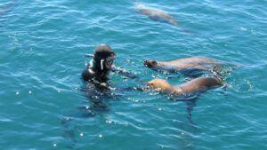 Buceo con lobos marinos.