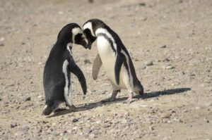 Pinguinos en la estancia San Lorenzo.